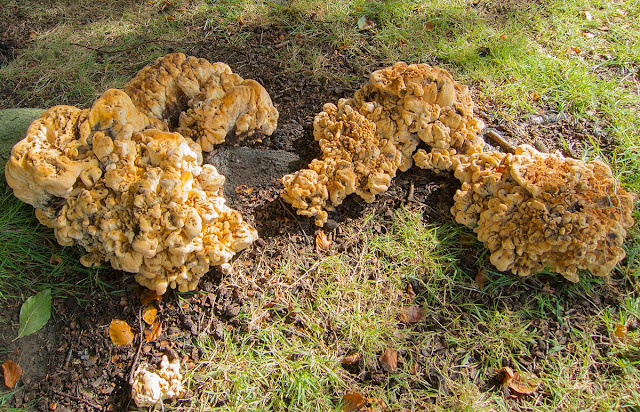Giant Polypore, Meripilus giganteus.  Fungus on the roots of a Beech tree on The Knoll, Hayes.  25 September 2012.