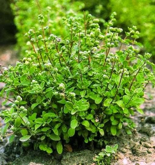 Benefits And Nutrition Of Sweet Marjoram (Origanum Majorana) For Health