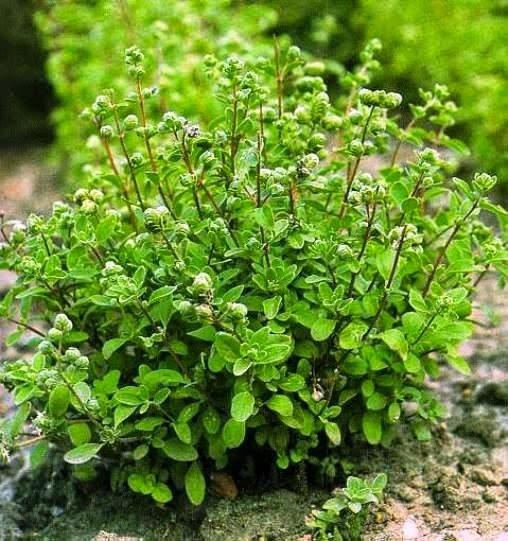Benefits And Nutrition Of Sweet Marjoram (Origanum Majorana) For Health