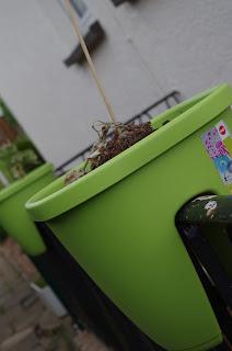 grün, Blumentopf, Snackgurke, Balkonmelone
