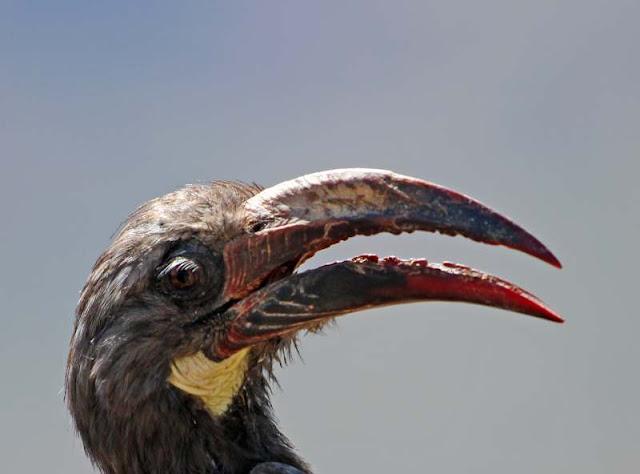 Hemprich's Hornbill Ethiopia