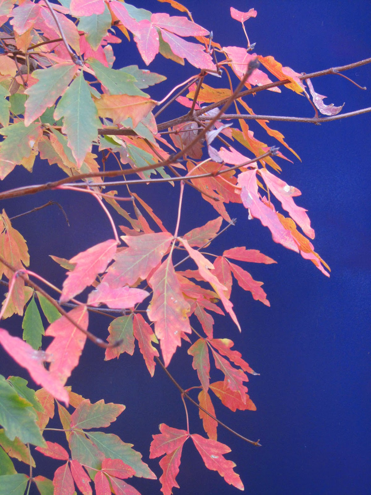 red leaves against blue backdrop