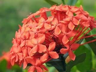 Khasiat Bunga Asoka untuk Kesehatan
