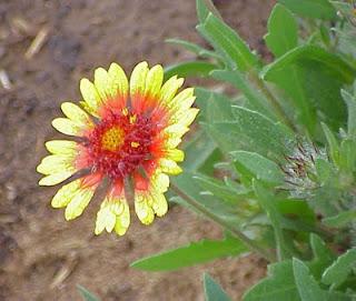 gaillardia flower garden