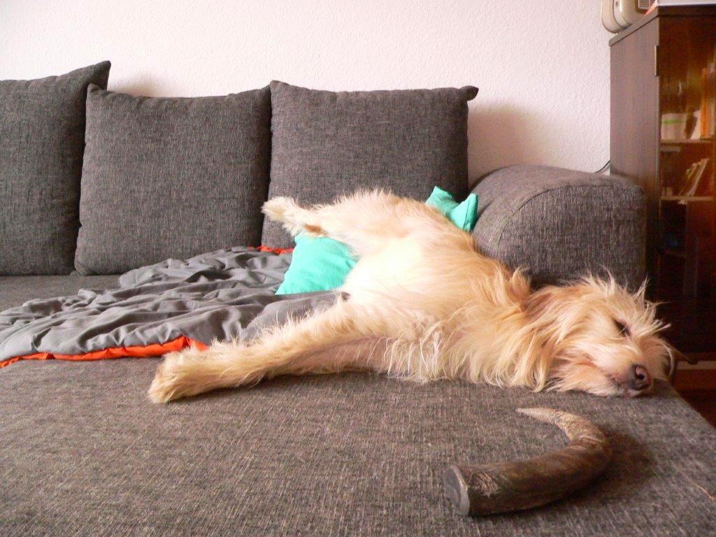 Hund Entspannung Sofa liegen Nichtstun