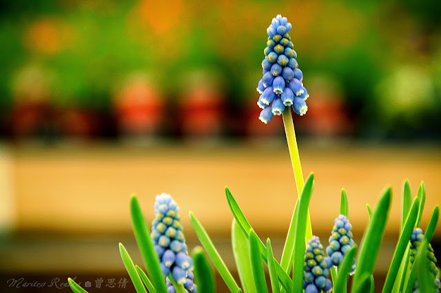 Grape Hyacinth: Muscari