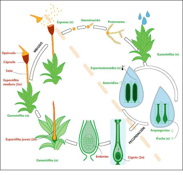 esquema del Ciclo de vida de un musgo briofita