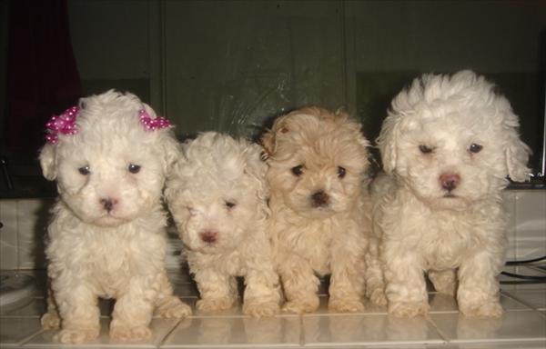 Razas de perros del mundo: Poodle