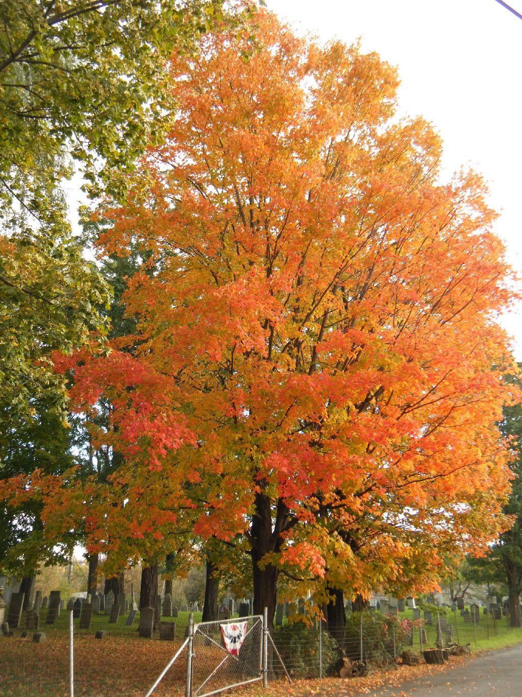 sugar maple a beautiful tree is the sugar maple with color turning