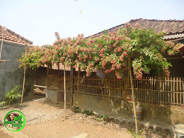 FOTO : Bunga Melati Belanda di rambatkan pada pinggiran emper / kanopi Rumah Nenek Admin