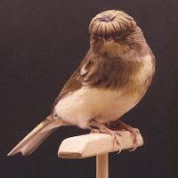 Burung Kenari - Solusi Penangkaran Burung Kenari -  Kode Ring Kenari Import Pada Negara Cuba
