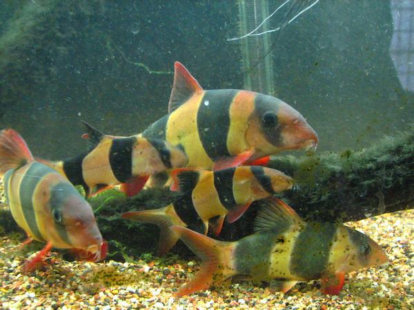 Clown loach aquatic animals for Clown loach fish