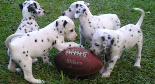 Dalmatian Cute Puppies Pictures