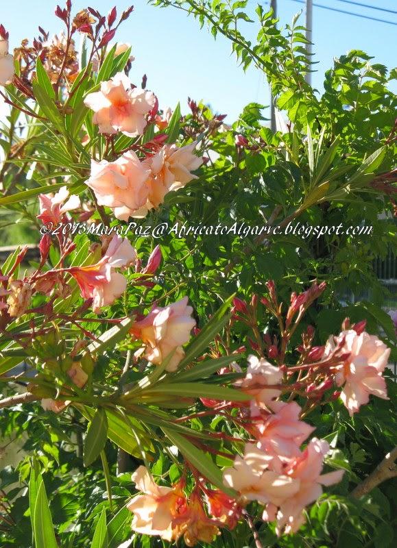 Pale pink oleander