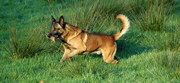 Cachorro Malinois estava na operação que matou Bin Laden