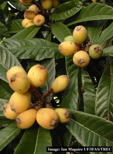fruit smack loquat fruit