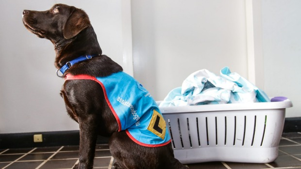 Assistance-Dogs-Australia-Super-Puppy-helping