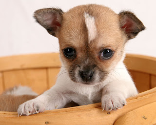 Chihuahua Puppies Pictures