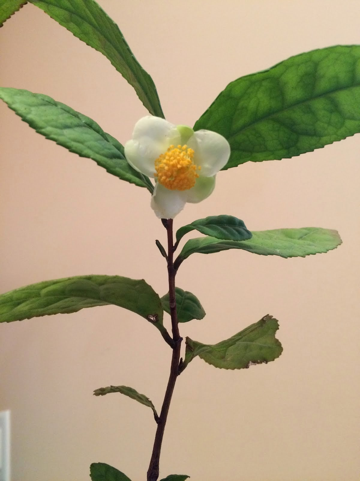 My Tea Bloom