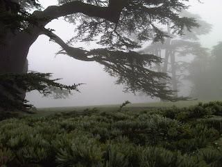 Compton+Verney+Cedar+Tree-#CVGrounds-Cedar+of+Labanon-Lebanese+Cedar