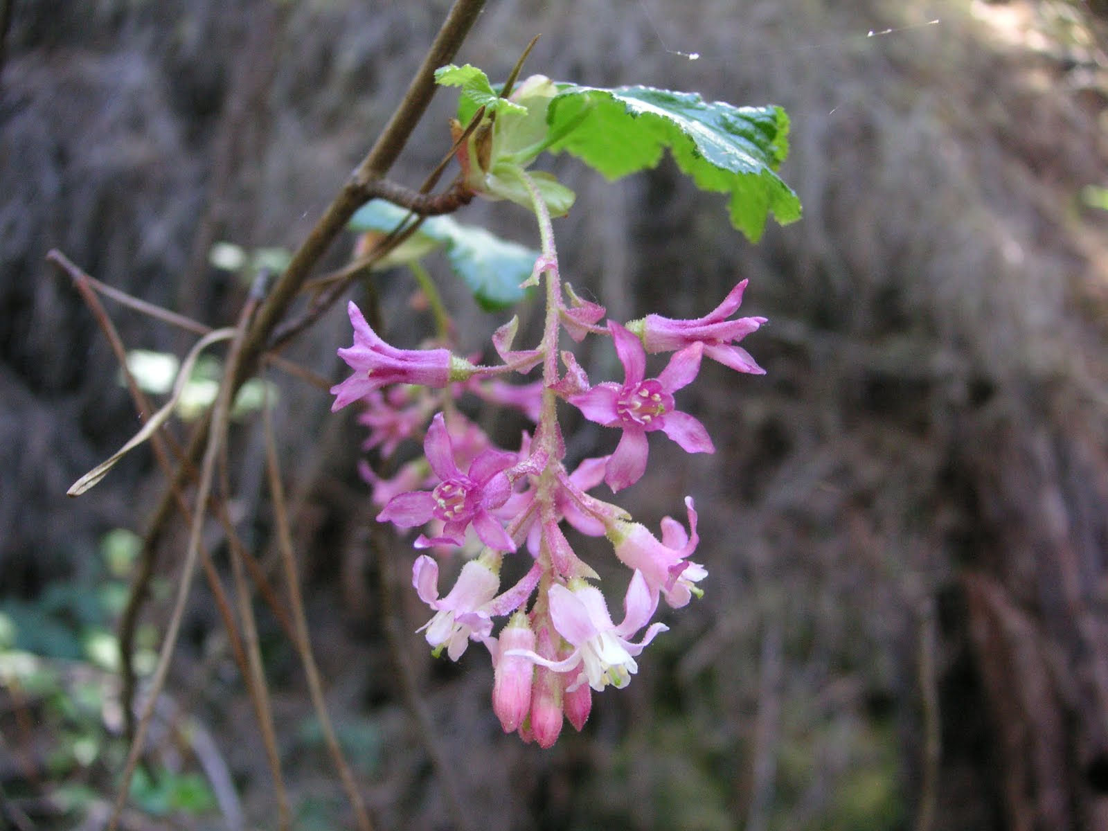 Nature id pink flowering currant 030412 sfb morse botanical pink flowering currant 030412 sfb morse botanical reserve mightylinksfo