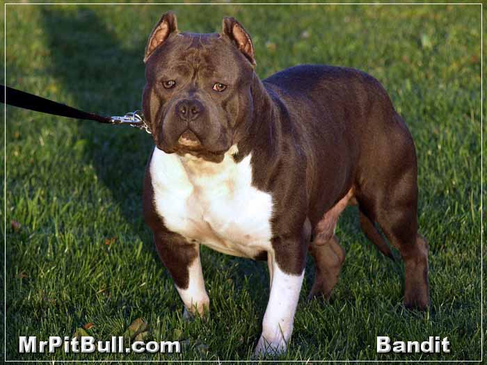 Pitbull Dog Wallpapers HQ Provides Latest High Resolution In Wide Screen Also Find Here Animal Vehicles 3D