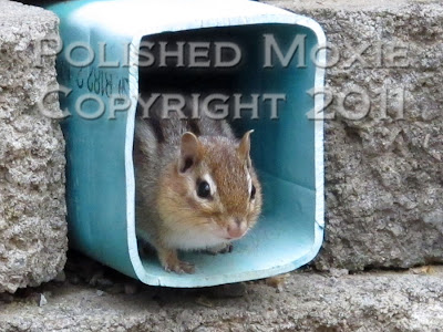 Picture of chipmunk looking out of the opening of a drain pipe