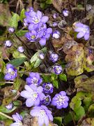Quelques fleurs de printemps gouttes d'eau sur fleur de lys signã©
