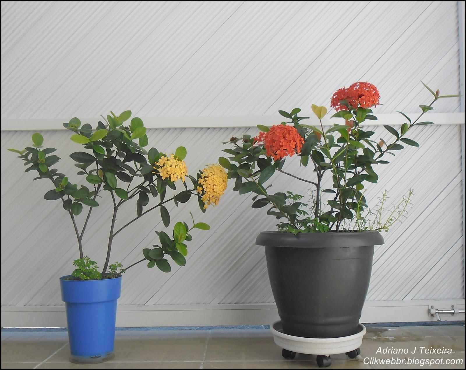 Mundo Das Plantas Ixora Ixora Coccinea