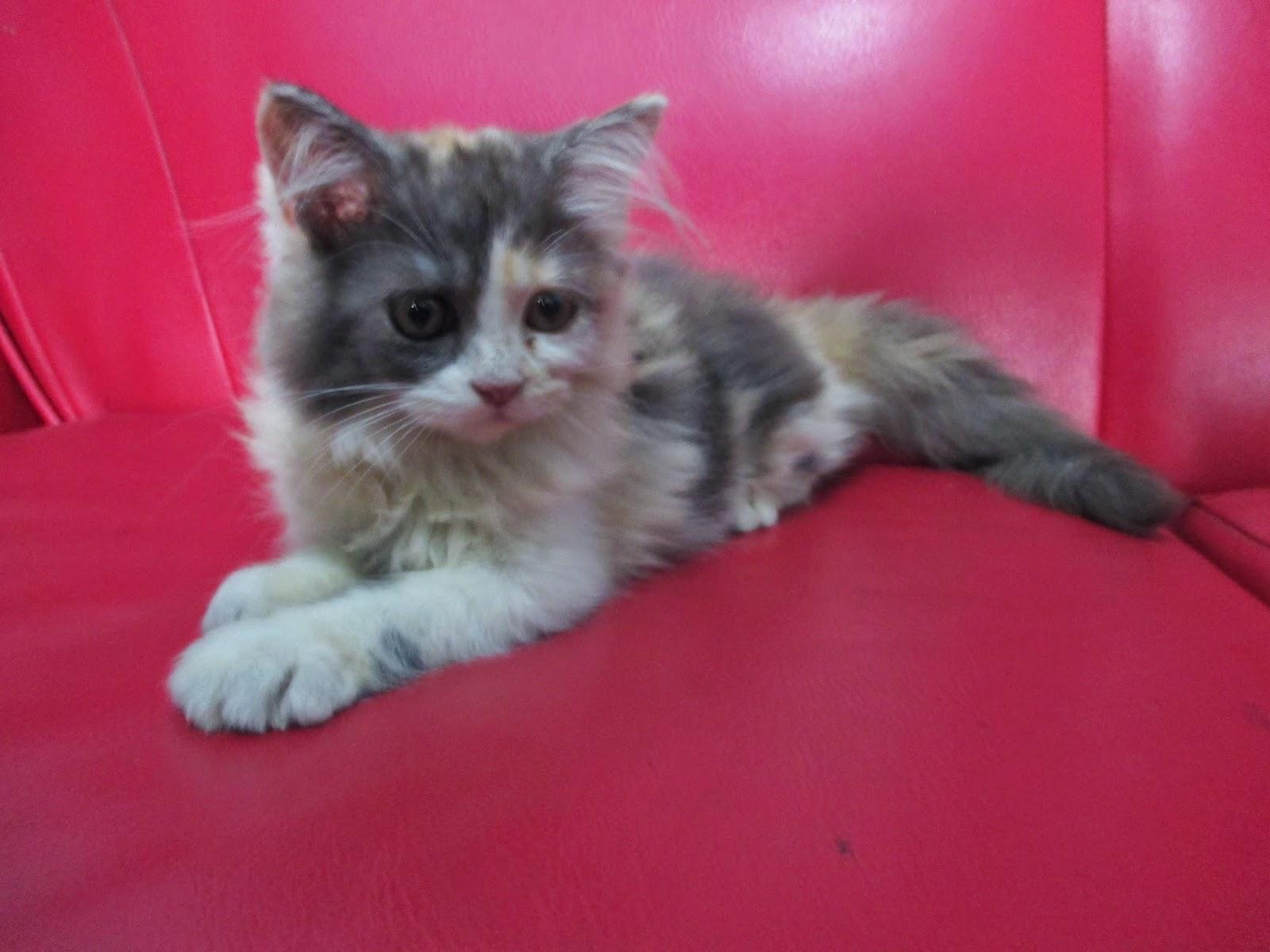 1Day1Dream: Ingin Bisa Memelihara Kucing Persia Dengan Baik