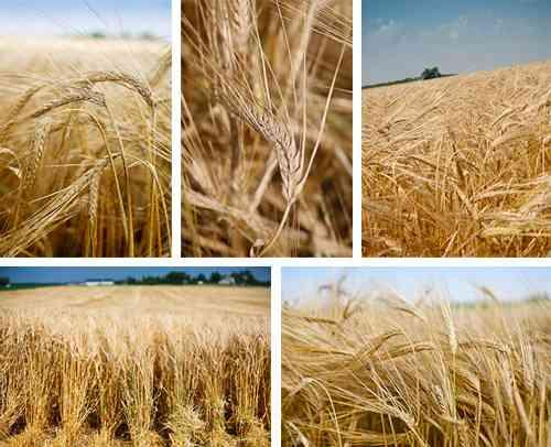 الشعير من الزراعة وحتى الحصاد