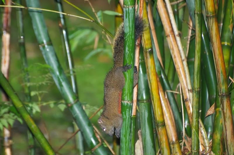 Pallas's Squirrel (Callosciurus erythraeus)
