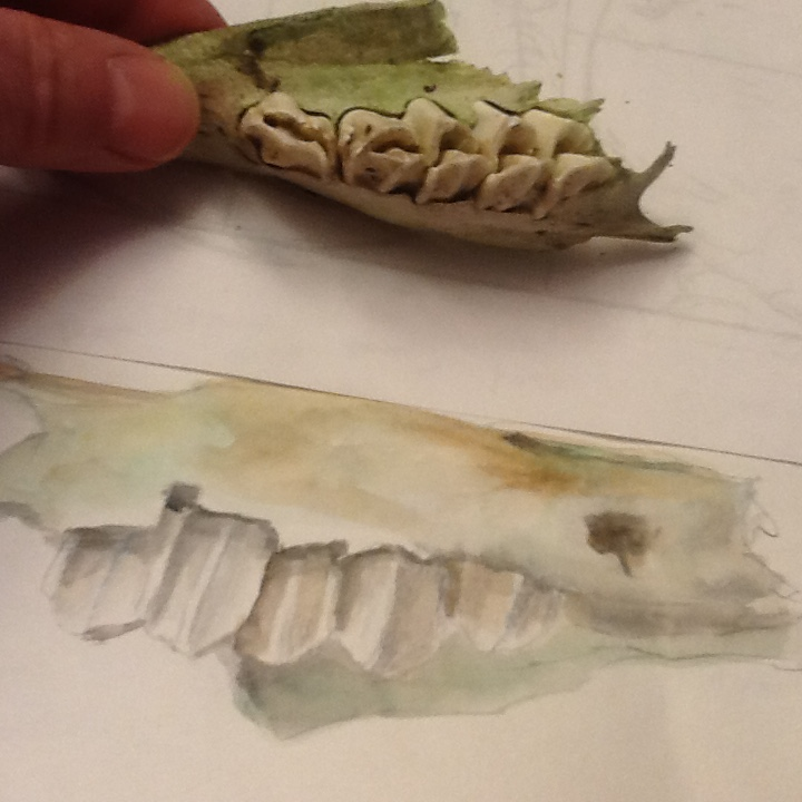 hare's teeth, upper incisors, watercolour sketch of hare's teeth