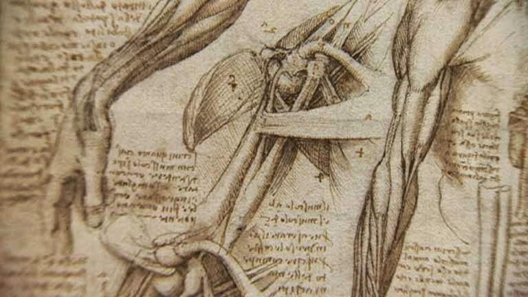 Estudio de los músculos por Leonardo