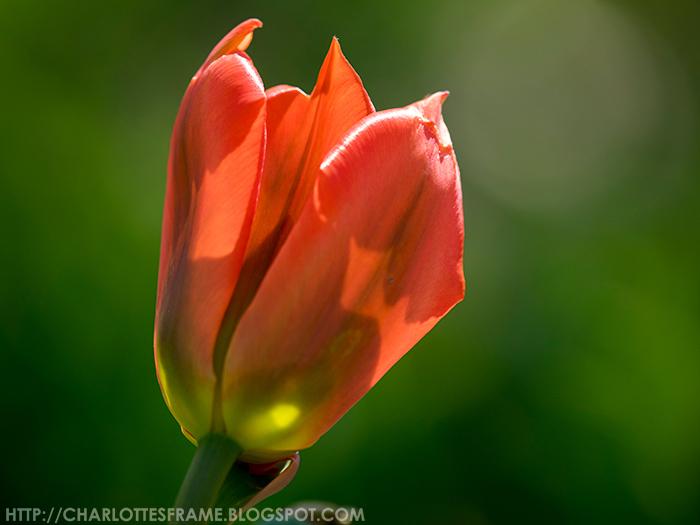 Poldertuin Anna Paulowna bloemen, Poldertuin Anna Paulowna - Klein Keukenhof tulpen,