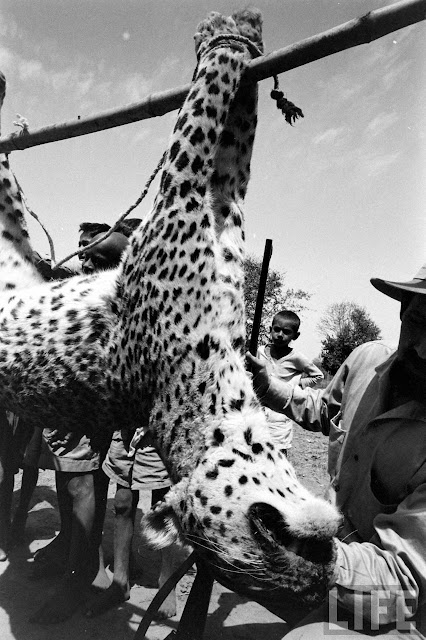 Tiger+Hunting+Photographs+of+India+-+1965+%252821%2529
