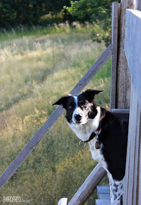 Border collie watching from a high-stand