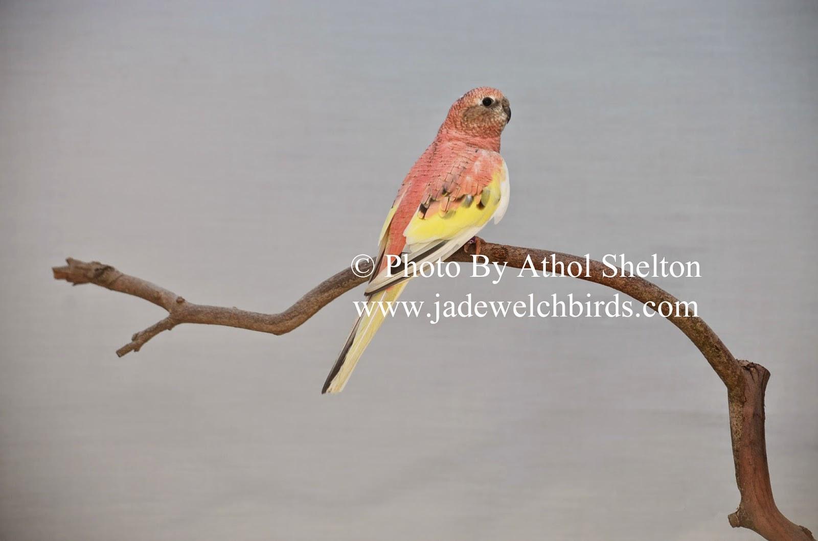 rosa pied bourke athol shelton jade welch jadewelchbirds.com