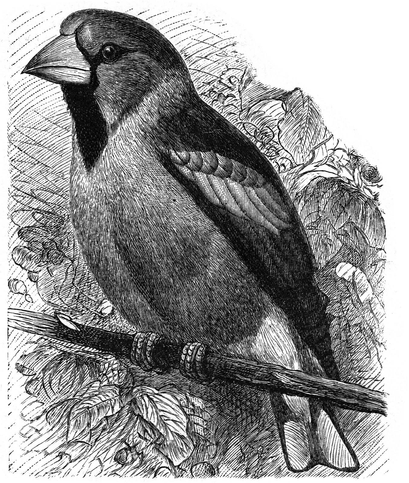 Коллекция картинок: Птицы графика: madamkartinki.blogspot.com/2012/05/blog-post_12.html
