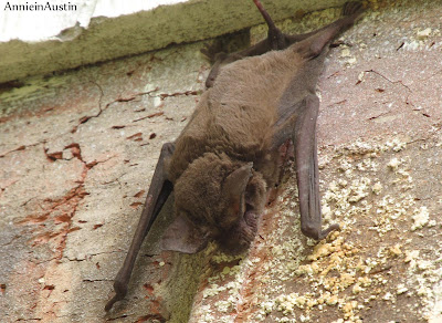 Annieinaustin prob Little brown bat
