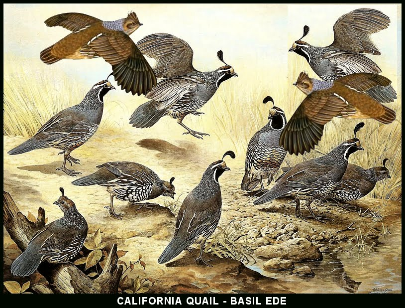 Click Quails And See Video
