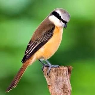 Foto Burung Cendet (Pentet) Jantan Terbaik