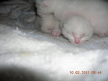 Les chatons, 2ème semaine !