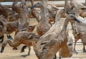 Cara Beternak Bebek Dengan Pola HCS