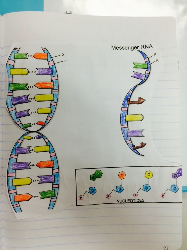 ap bio dna replication essay  · griffith & avery- bacterial transformation c meselson and stahl- dna replication in bacteria please be ap bio essay last question need help please.