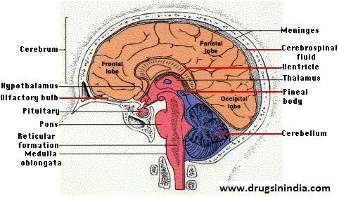 central nervous system, brain