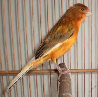 Penyebab burung kenari tidak mau berbunyi, dan cara pengobatannya