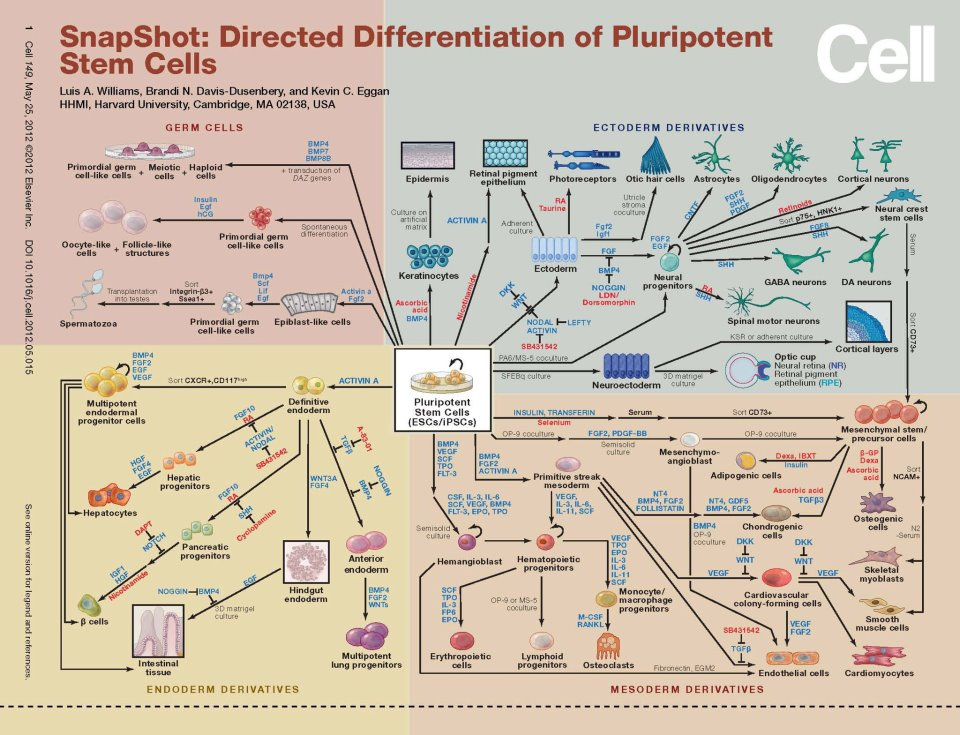 Neuromics stem cell differentiation flow charts herere several stem cell differentiation flow charts that map the genesis of pluripotent and multipotent cells and identify the cell types that result from ccuart Images