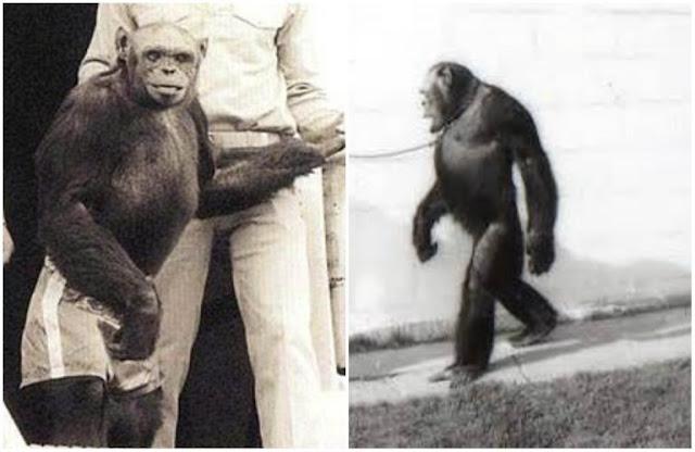 Το «υβρίδιο» ανθρώπου και χιμπατζή. 'Επινε καφέ και αλκοόλ, περπατούσε όρθιος και του άρεσαν οι γυναίκες.