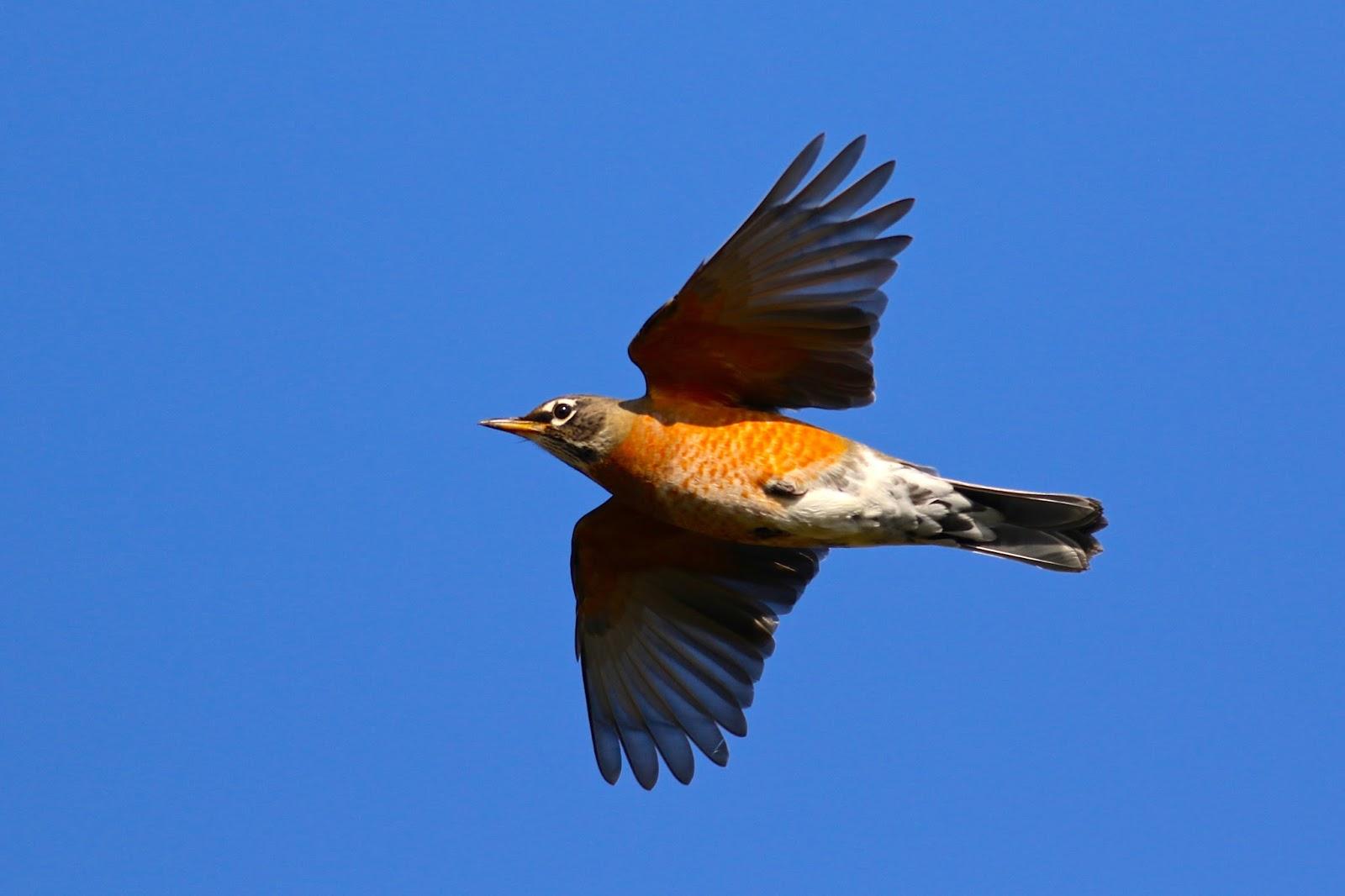 american robin bird flying - photo #10
